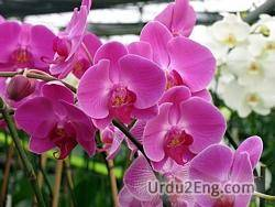orchid Urdu Meaning
