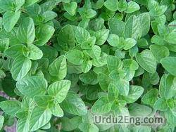 oregano Urdu Meaning