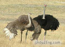 ostrich Urdu Meaning