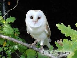 owl Urdu Meaning