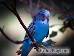 parakeet Urdu Meaning