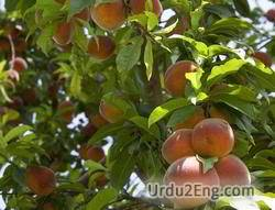 peach Urdu Meaning