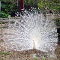 peacock Urdu Meaning