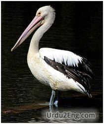 pelican Urdu Meaning