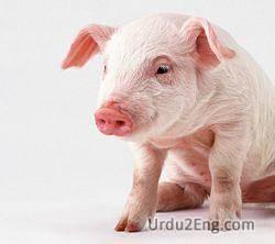 pig Urdu Meaning