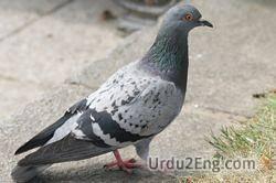pigeon Urdu Meaning