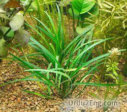 plant Urdu Meaning