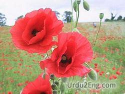 poppy Urdu Meaning