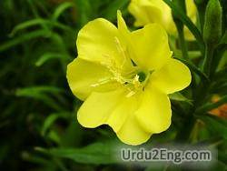 primrose Urdu Meaning