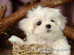 puppy Urdu Meaning
