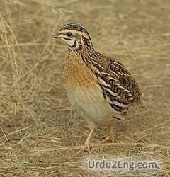 quail Urdu Meaning