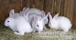 rabbit Urdu Meaning