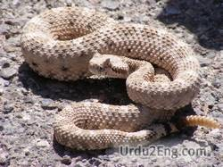 rattlesnake Urdu Meaning