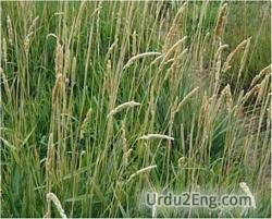 reed Urdu Meaning