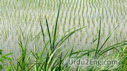 rice Urdu Meaning