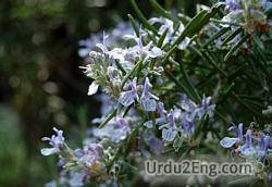 rosemary Urdu Meaning