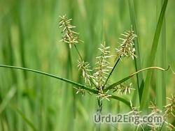 sedge Urdu Meaning