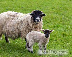 sheep Urdu Meaning