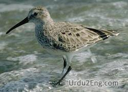 shorebird Urdu Meaning
