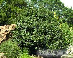 shrub Urdu Meaning