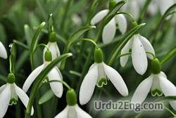 snowdrop Urdu Meaning