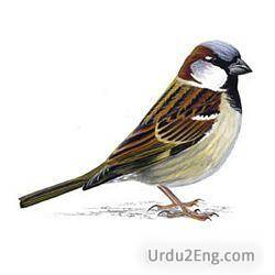 sparrow Urdu Meaning