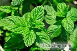 spearmint Urdu Meaning