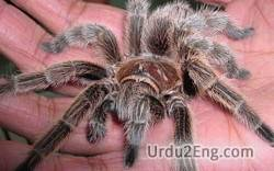 spider Urdu Meaning