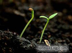 sprout Urdu Meaning