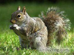 squirrel Urdu Meaning