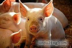 swine Urdu Meaning
