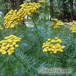 tansy Urdu Meaning