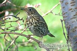 thrush Urdu Meaning