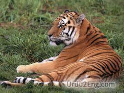 tiger Urdu Meaning