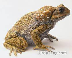 toad Urdu Meaning