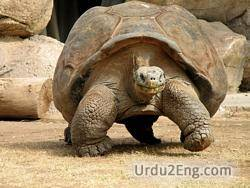 tortoise Urdu Meaning