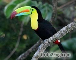 toucan Urdu Meaning