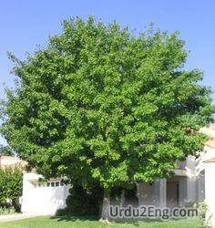 tree Urdu Meaning