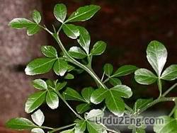 trifoliate Urdu Meaning