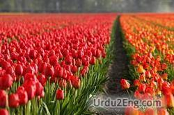 tulip Urdu Meaning