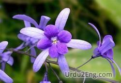 violet Urdu Meaning