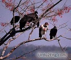 vulture Urdu Meaning