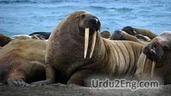 walrus Urdu Meaning