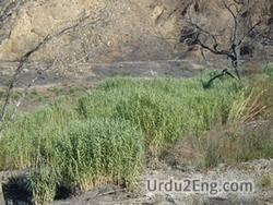 weed Urdu Meaning