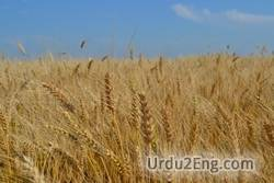 wheat Urdu Meaning