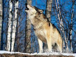 wolf Urdu Meaning