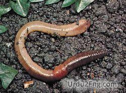 worm Urdu Meaning