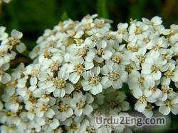 yarrow Urdu Meaning