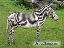 zebra Urdu Meaning