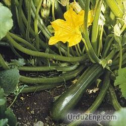 zucchini Urdu Meaning